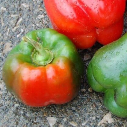 button to buy organic California Wonder Pepper seeds